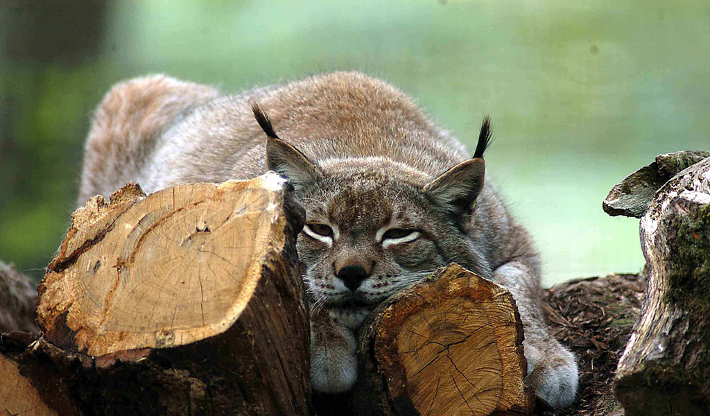 Lynx in the Vosges